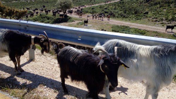 Ziegen auf den Straßen Kefalonias