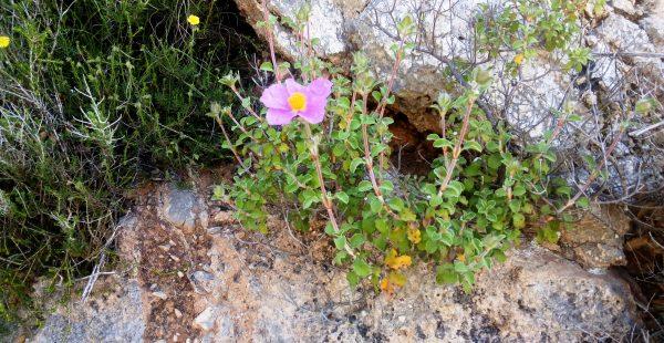 Rock rose, Cistus in Kefalonia