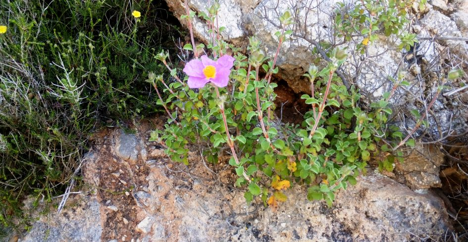 Rock rose, Cistus in Kefalonia