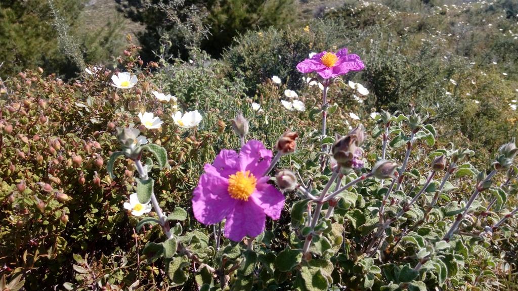 Weiße und rosa Zistrose auf Kefalonia