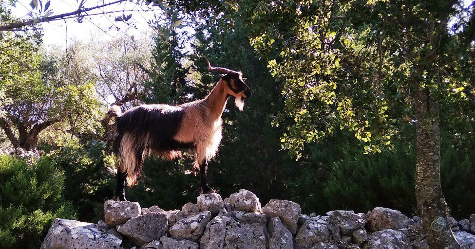 Ziege bei Antisamos in den Bergen Kefalonias