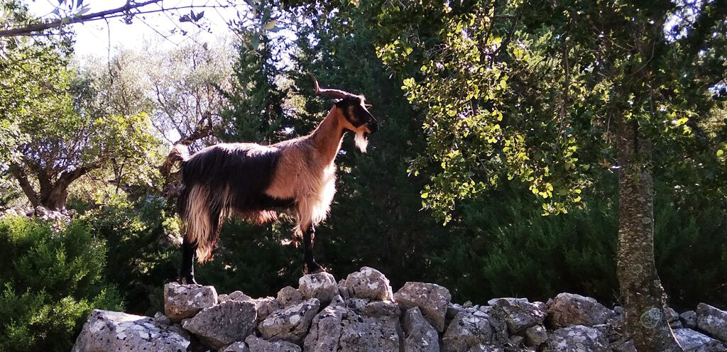Ziege bei Sami auf Kefalonia